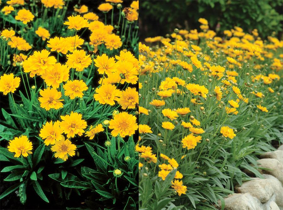 Sárga évelő virágok